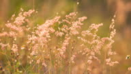 Moving of Pink Grass Flower in the evening video
