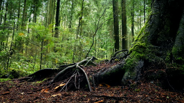 Moving Past Large Tree Roots In Forest video