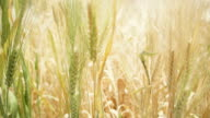 moving shot going through golden barley field, farm agriculture industry video