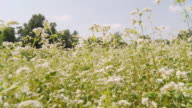 HD: Moving Through The Field Of Buckwheat video