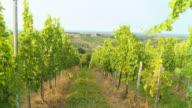 HD STEADY SHOT: Moving Through Vineyard video