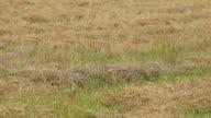 Mown straw lying on green grass video