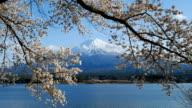 Mt.Fuji and Cherry Blossom at lake Kawaguchiko,Yamanashi,Japan video