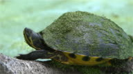 Mud turtle - Chicken Turtle, Deirochelys reticularia, in the wetland in South Carolina, Southern USA. video