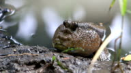 Mudskipper on the muddy swamp video