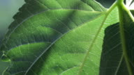 Mulberry leaf. video