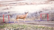 Mule Deer Buck Alberta Badlands video