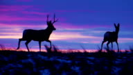 Mule Deer Buck Chasing Doe at Sunset video