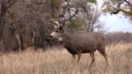 Mule Deer Buck video