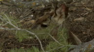 Mule deer close-up video