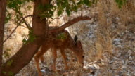 Mule Deer Fawn Shooing Flies video