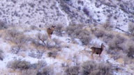 Mule deer feeding in snowy sagebrush video