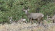 Mule deer herd on Mount Falcon Morrison Colorado Rocky Mountains video