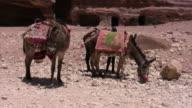 Mule in Petra Temple video