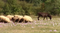Mule moving in front of the sheep herd, leading them on pasture with blue flowers video