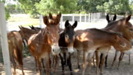 Mule on farm. video
