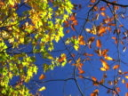 NTSC: Multi colored leafs of autumn. video