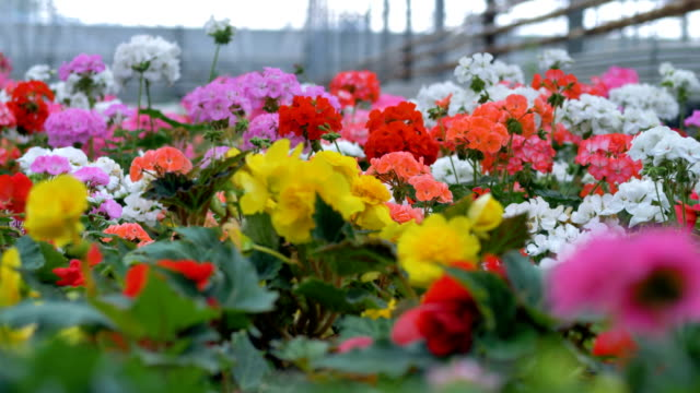 Multiple Colored flowers in a Garden Blowing. Industrial plant growing greenhouse. 4K. video