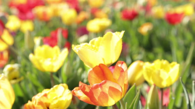 Multiple Colored Tulips in a Garden Blowing in the Wind. Tulips flowers growing at field Full HD, 1080p video