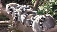 Multiple Lemurs sleeping on a log or branch video