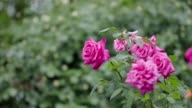 Multiple pink roses swaying in the rain, close up video