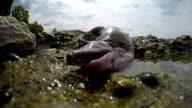 Muraena fish video