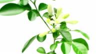 Murraya paniculata (Orange Jasmine) flowers blossom, time lapse video