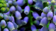 Muscari flowers time lapse video