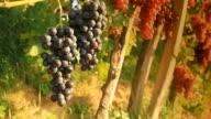 HD DOLLY: Muscat Grape In Vineyard video