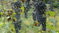 HD DOLLY: Muscat Grapes In Vineyard video