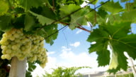 DOLLY: Muscat White Vineyard video