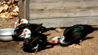 Muscovy ducks eat in the poultry video