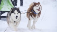 musher hiding behind sleigh at sled dog race in slow motion video