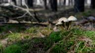Mushroom pickers walks past through inedible poisonous mushrooms. video