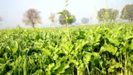 Mustard crop field panning video