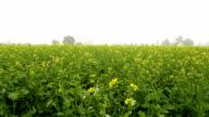 Mustard Field video