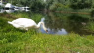 Mute Swan grazing, drinking and swimming video