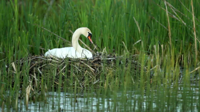 Mute swan on the nest video
