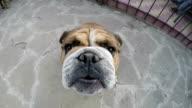 Muzzle of English Bulldog video