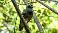 Myna bird on branch video