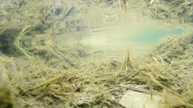 mysterious alpine newts listed in the Red Book underwater life video