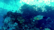 Mysterious underwater world of the tropics. Broomtail Wrasse Fish swim among anchor chains video