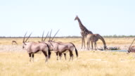 WS Namibian Animals By The Waterhole video