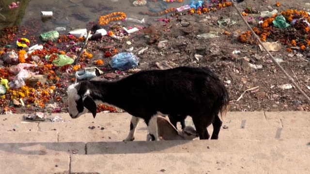 Nanny goat feeding her calves by Ganges river in Varanasi, India video