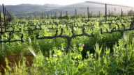 Napa grapevines during the spring - multiple shots video
