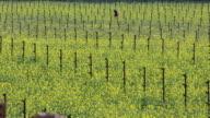 Napa rapeseed in vineyard video