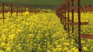 Napa vineyard and rapeseed video