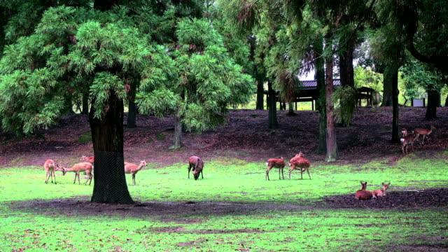 Nara deer roam free in Nara Park, Japan for adv or others purpose use video