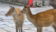 Nara deer video