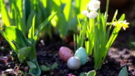 narcissus and easter eggs on the spring background video
